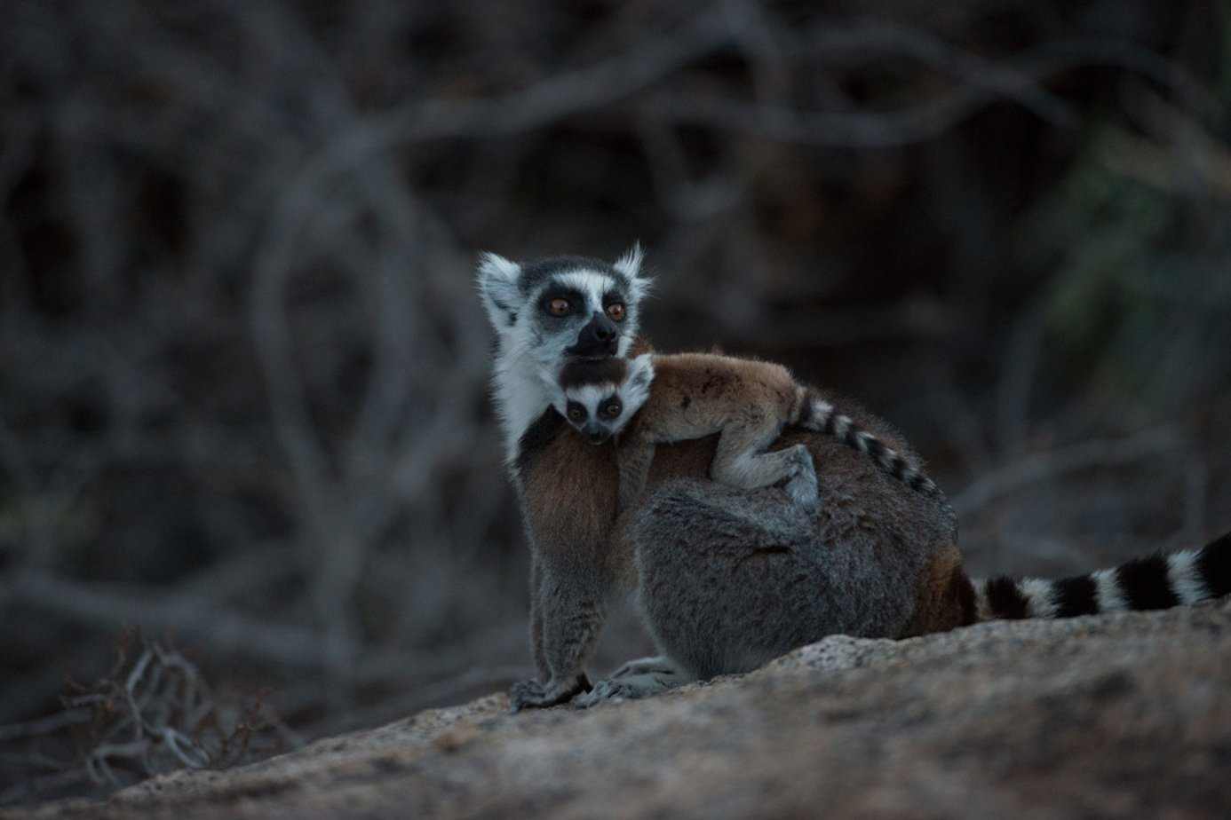 lemurs in madagascar surviving on an island of change transcript On the world's fourth largest island, and virtually nowhere else, lives an entire infraorder of primates: the three dozen or so lemur species but madagascar has radically transformed since.