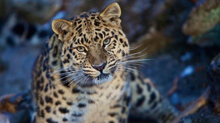 На крупнейшем телеканале Индии прошла премьера российского документального фильма о дальневосточном леопарде