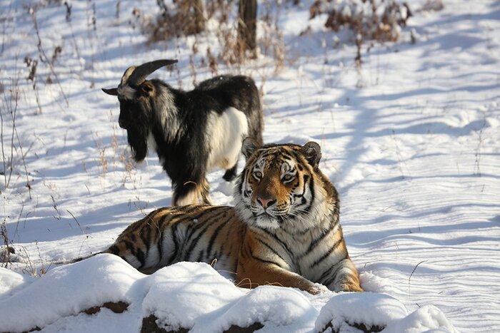 «Россия 24» и «Живая планета» покажут первый полнометражный фильм о дружбе тигра Амура и козла Тимура