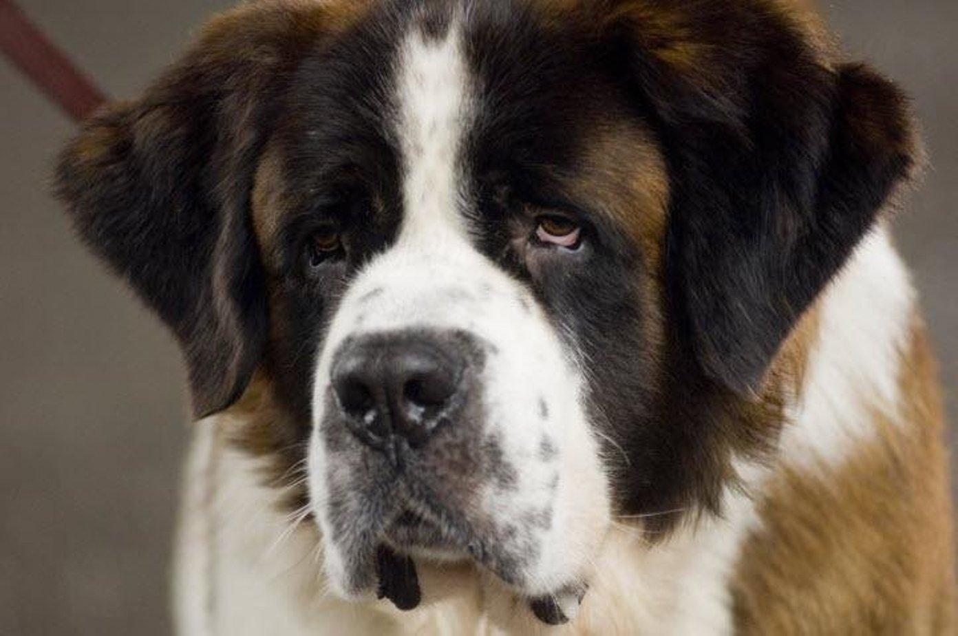 один бетховен собака классные картинки тот период