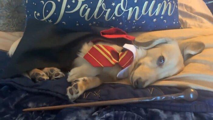 Собака выучила заклинания из «Гарри Поттера». Видео